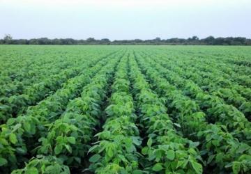 Produtividade de soja da Embrapa superam expectativas