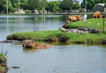 População não respeita distância e jacarés são retirados de lagoa