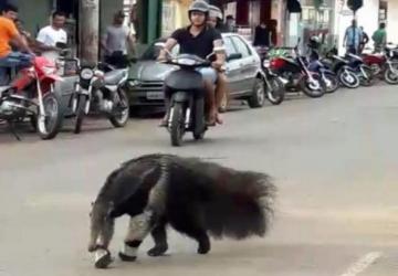 Tamanduá-bandeira passeia por avenida e surpreende moradores