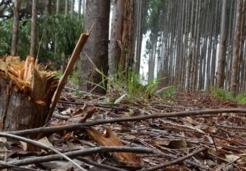 Produtor denuncia furto de madeira em fazenda